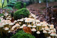 Wet Mushrooms (martinstelbrink) Tags: bollendorf eifel südeifel rheinlandpfalz germany autumn herbst bollendorferschweiz deutschluxemburgischernaturpark germanluxembourgnaturepark sony alpha7rii a7rii voigtländervmeclosefocusadapter mushrooms pilze fungus forest wald wet nass leicasummicron35mmf20preasph leicasummicron35mmf20i leica summicron 35mm f20 preasph