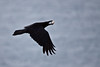 Breakfast to Go 4 (LongInt57) Tags: raven corvus crow bird flying wings water ocean atlantic egg food stolen stealing theft white black blue nature wildlife capestmarys capesaintmarys newfoundland canada
