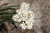 Achillea millefolium (Common Yarrow) - Icicle Creek, WA (Nick Dean1) Tags: macroflowerlovers macro flower wildflower washington iciclecreek canon