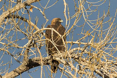 Golden Eagle in the early morning sun