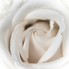 White rose spiral (Pejasar) Tags: spiral white rose tulsa oklahoma bloom blossom