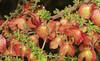 Dodonaea - Hop Bush (Jenny Thynne) Tags: dodonaea granitebelt southeastqueensland australiannativeplant seedpods girraweennationalpark australia