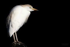 Looking out (babsbaron) Tags: nature tiere animals vogel vögel birds reiher heron kuhreiher cattleegret zoo erlebniszoo hannover