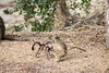 Baboon playtime (mayekarulhas) Tags: krugerpark mpumalanga southafrica za baboon baby animal africa wildlife wild canon
