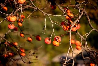 Persimmons 柿