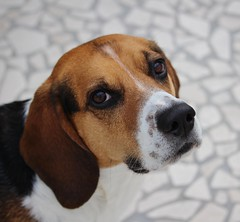 Lucky (LuckyMeyer) Tags: hund haustier dog jagdhund black brown white friend beagle