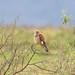Lesser Kestrel (Falco naumanni), female