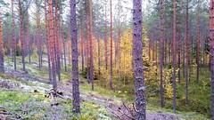 Pine forest (sakarip) Tags: sakarip forest pine finland luumäki fall slope