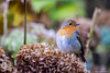 Robin in a local park (andyp178) Tags: robin bird park flower winter nikon sigma bellevue newport nature