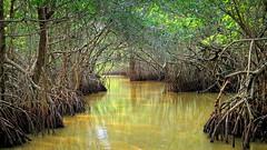 Mangrove forest (PeterCH51) Tags: usa us america florida mangrove forest everglades np nationalpark mangroveforest peterch51 tropical nature evergladescity