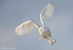 Just a Little Patience (Snowy Owl) - Explored (Mitch Vanbeekum Photography) Tags: snowyowl snow snowy owl buboscandiacus nj newjersey mitchvanbeekum mitchvanbeekumcom canoneos1dx canonef500mmf4lisiiusm canon14teleconvertermkiii inflight flying fly flight sky blue bluesky