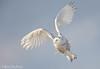 Just a Little Patience (Snowy Owl) - Explored (Mitch Vanbeekum Photography) Tags: snowyowl snow snowy owl buboscandiacus nj newjersey mitchvanbeekum mitchvanbeekumcom canoneos1dx canonef500mmf4lisiiusm canon14teleconvertermkiii inflight flying fly flight sky blue bluesky