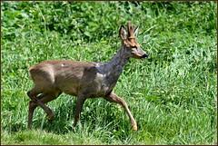 N° 848 / Chevreuil mâle ( Brocard en velours ) ( Capreolus capreolus ) Focus Distance - 29.85 m (Norbert Lefevre) Tags: animal chevreuil cervidé gibier nikon d500 300mmf4