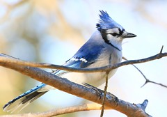 blue jay at Lake Meyer Park IA 854A9949 (lreis_naturalist) Tags: blue jay lake meyer park winneshiek county iowa larry reis