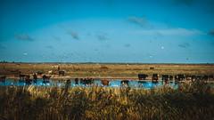 Nature (Est3ban.T) Tags: cow bird orange teal nikon d3300 lightroom dlsr sky cloud day sun flora fauna domestic farm campo