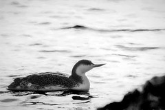 Painted Loon (hmthelords) Tags: painterly aaw artistic loon bnw highcontrast bay bird blackandwhite activeassignmentweekly redthroatedloon