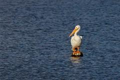 He Must Like it Here (Maggggie) Tags: bird americanwhitepelican big bill feet standing rare explore