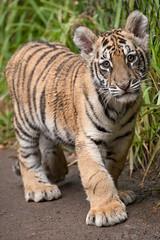Moka the Bengal Tiger. (LisaDiazPhotos) Tags: bengal tiger cub sandiegozoo sandiegozooglobal sandiegozoosafaripark sandiego sandiegosafaripark sdzsafaripark sdzoo sdzsp moka