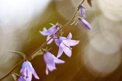 A Ray Of Sunshine (matt.kueh) Tags: flower plant glockenblumen bellflowers rays flare bokeh bokehlicious vintagelens manualfocus m42 depthoffield helios40285mmf15 sunshine