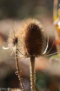 Teasel catching the Autumn Sun