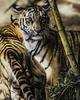 Friends in Need (Paul E.M.) Tags: tiger bengaltiger sumatrantiger pantheratigristigris pantheratigrissumatrae