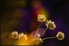 Astrantia major (maartenappel) Tags: canon kleuren