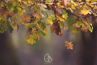 Autumn Oak Leaves Falling 15th November