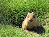 Noisy ground squirrel (thomasgorman1) Tags: groundhog squirrel noisy canon wildlife canada hotel grounds grass burrow outdoors nature critter teeth waterton park agitated