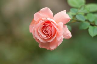 Rose - D2X-11-04-17DSC_2145_1590