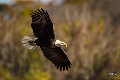 Bald Eagle (jt893x) Tags: 150600mm americanbaldeagle baldeagle bif bird d500 eagle haliaeetusleucocephalus jt893x nikon nikond500 raptor sigma sigma150600mmf563dgoshsms specanimal
