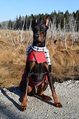 DSC_0004 (justinluv) Tags: achilles doberman dog dobe dobie dobermanpinscher eurodoberman canine