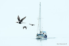 Heading for port (Earl Reinink) Tags: water lake fog boat sailboat duck waterfowl longtailedduck ontario lakeontario sailing earl reinink earlreinink flight birdinflight nature naturephotography composite