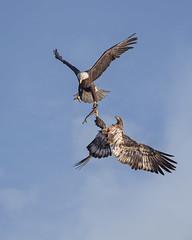 Happy Thanksgiving... (DTT67) Tags: baldeagle eagle birds birdofprey bif eaglefight nature nationalgeographic wildlife canon 1dxmkii 500mmii 14xtciii thanksgiving