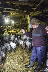 Aurelio en la cuadra (Jabi Artaraz) Tags: jabiartaraz jartaraz zb euskoflickr aurelio pastor rebaño ovejas sheep