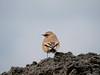 Desert Wheatear (Corine Bliek) Tags: oenanthedeserti vogel vogels bird birds vagrant dwaalgast rare zeldzaam natuur nature birding wildlife