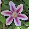 Chicago, Old Town Triangle,  Pink Clematis (?) Flower, Macro (Mary Warren 9.6+ Million Views) Tags: chicago oldtown oldtowntriangle nature flora plant macro bloom blossom flower clematis