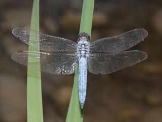 Orthétrum bleuissant (Orthetrum coerulescens)