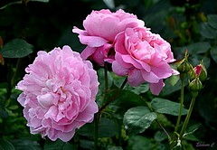 Weekend Roses (Eleanor (No multiple invites please)) Tags: roses pinkroses busheyrosegarden bushey herts uk nikond7100 august2017 coth5