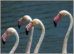 """"""" Les Dalton """" ! (Armelle85) Tags: extérieur nature animal oiseau flamant rose eau lagune macro mer océan faune"""
