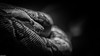 Kaa (Michel Images) Tags: animals canonef70200f28lis2usm canoneos5d4 zoodevincennes boa monochrome