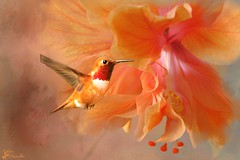 Just a Taste....(Explored) (Patlees) Tags: flower hummingbird textured group texturaltuesday thanks jaijohnson hibiscus