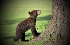 Spring Cub About To Shoot Up Tree(300.0 mm) (Direwolf131) Tags: moscow russia wild wilderness cute cubs