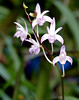 very fragrant, Dendrobium Jesmond Glitter hybrid orchid (nolehace) Tags: dendrobium jesmond glitter hybrid orchid 1017 fall nolehace sanfrancisco fz1000 flower bloom plant