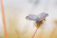 Sweet Friday !!! (thierrymazel) Tags: papillon butterfly bokeh dof pdc profondeurdechamp sweet doux pastel animal insecte