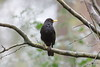 Harry Blackbird (Barry Miller _ Bazz) Tags: yellowbeak outdoorphotography victoriapark lens f4l 300mm canon 5dsr wildlife nature blackbird bird