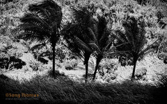 Wind (Objects1000) Tags: wind windy maui blackandwhite trees gust