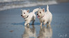 2017 - 11_25 - Animals - Dogs - Sushi_Angus 09 (stevenlazar) Tags: largs beachwater sand northhaven puppy 2017 ocean australia dog water animals adelaide white southaustralia scottishterrier