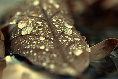 stillness (joy.jordan) Tags: leaf raindrops water texture bokeh nature puddle rain autumn