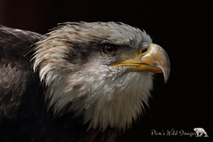 Winged Worrior (PamsWildImages) Tags: baldeagle raptor bird bc canon canada britishcolubia nature naturephotographer wildlife wildlifephotographer pammullins pamswildimages