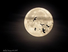 Super Moon (Belinda Fewings (3 million views. Thank You)) Tags: belindafewings panasoniclumixdmc bokeh city street seaside colour colourful artistic pbwa creativeartphotograhy creative arty beautiful beautify beauty lovely outdoors outside out best depthoffield garden color colours colors interesting interest water river december dawn moon supermoon bournemouth dorset morning seagulls birds silhouetting silhouettes